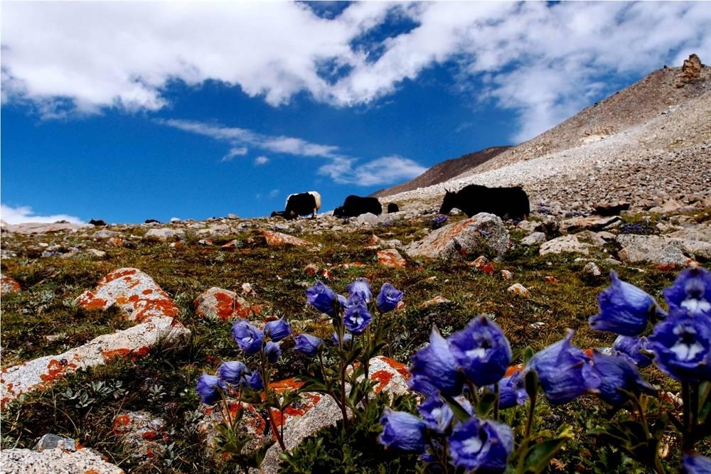 Ladakh fora and fauna